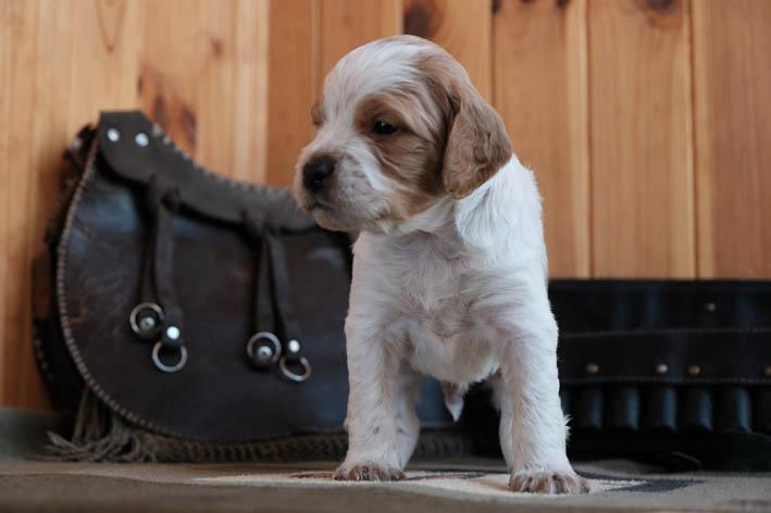 Фас - Fantom Bretonique Style - щенок бретона
