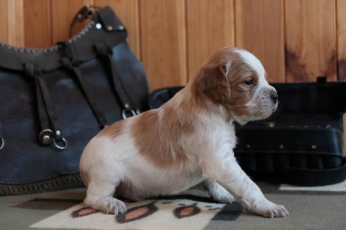Fantom Bretonique Style - щенок бретона