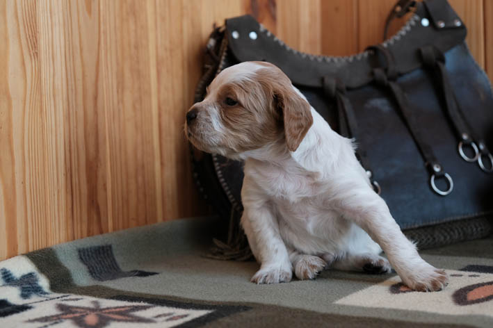 Кто там? - Fantom Bretonique Style - щенок бретона
