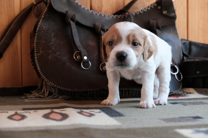 Fany Bretonique Style эпаньол-бретон  - щенок - профиль