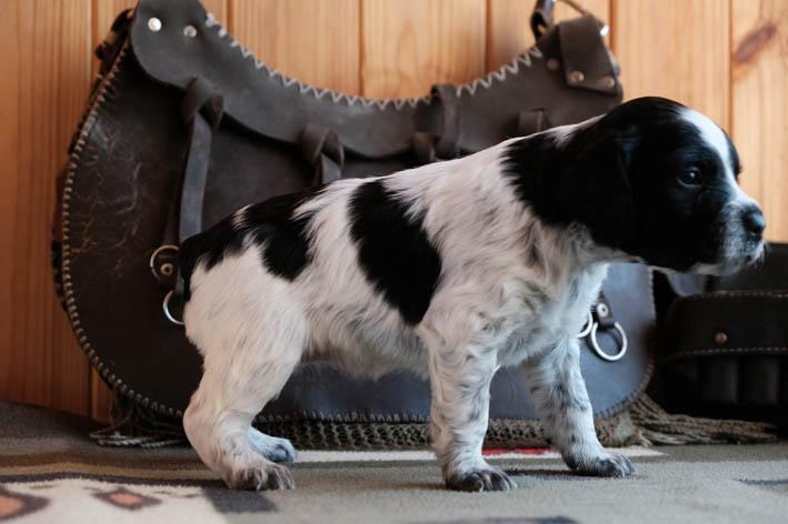 Fibi Bretonique Style - щенок бретона - профиль