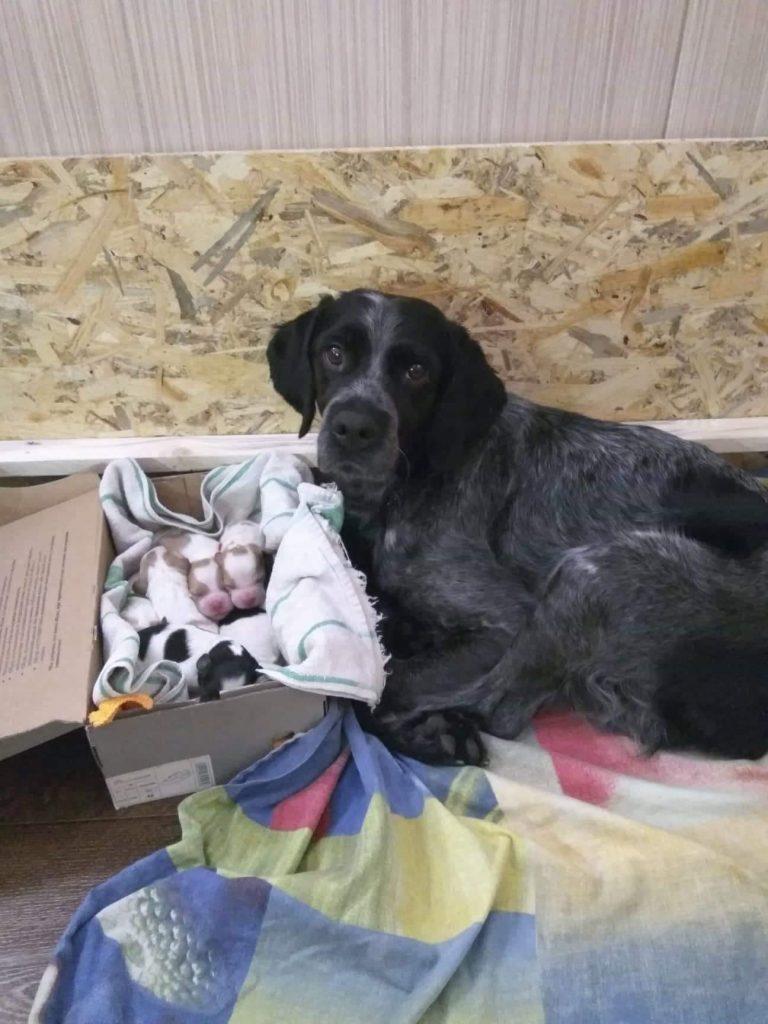 Эпаньол-бретон ISIDA со щенками - 3-й день