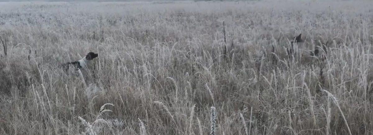Эпаньол-бретон TAYNA - работа по куропаткам - 1